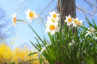 daffodils-684225_960_720.jpg