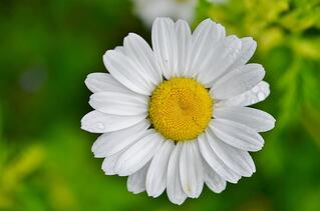 daisy-821222_960_720.jpg